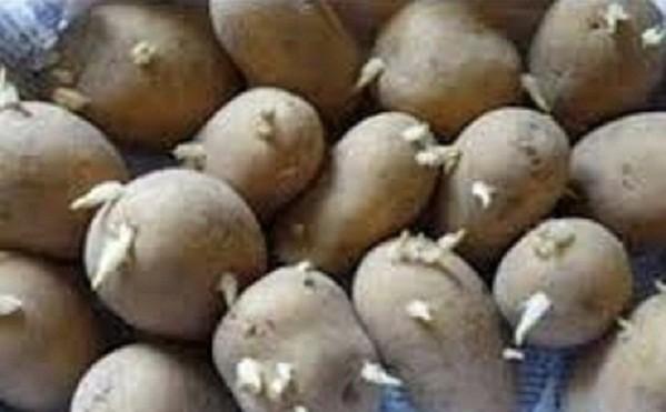 براعم البطاطس